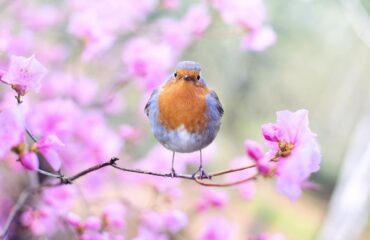 Spring Blossom and robin